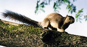 English: giant squirrel, Ratufa