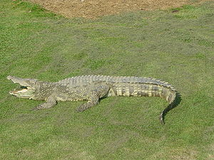 Siamese crocodile, crocodiles often sleep with...