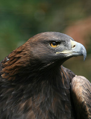 Description: The Golden Eagle Aquila chrysaeto...