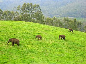 Wild elephants in Munnar, Kerala, India